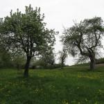 einer der ältesten Bäume im Garten (rechts)